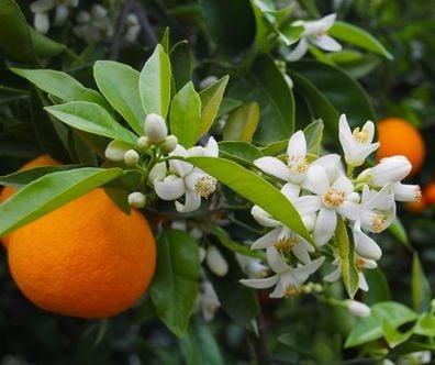 Fleur d'oranger, Ingrédient