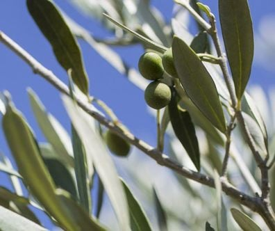 Olive, Ingrédient