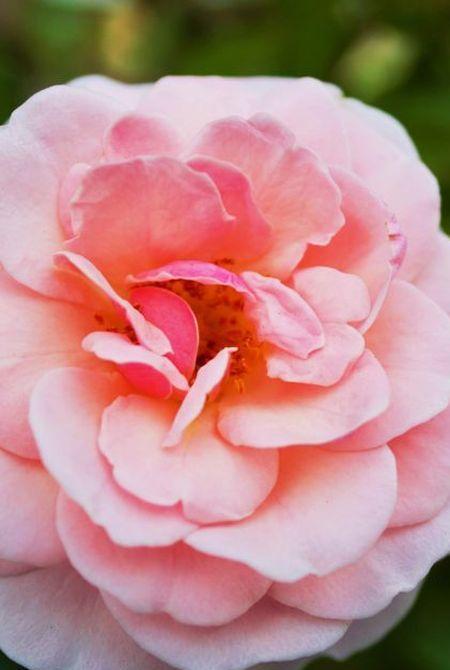 Rose, Ingrédient